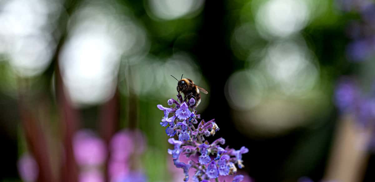 A bee in the flower garden at the Nursery